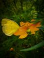 Kupu-kupu & Kenikir.png