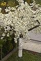 Kwitnąca czereśnia - panoramio (3).jpg