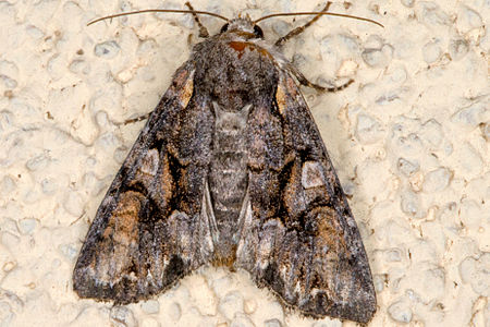 Lacanobia contigua, Lodz(Poland)01(js).jpg