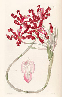 Laelia undulata (as Schomburgkia undulata) - Edwards vol 31 (NS 8) pl 53 (1845).jpg