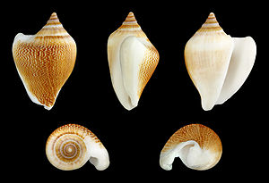 Laevistrombus canarium - Five different views of a shell of an adult L. canarium: abapertural (upper left), right lateral (center), apertural (upper right), apical (lower left) and basal (lower right)