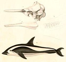 Lagenorhynchus cruciger 1847.jpg