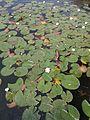 Lago-Edine-Ninfee-02.jpg