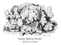 Laitue Batavia blonde Vilmorin-Andrieux 1904.png