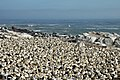 Lamberts Bay, Gannet colony - panoramio.jpg