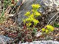 Lanceleaf Stonecrop (15034404339).jpg