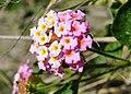 Lantana camara flower hunterc.jpg
