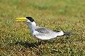 Large-billed Tern (Phaetusa simplex), Pantanal, Brazil.jpg