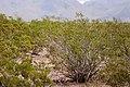 Larrea tridentata - Flickr - aspidoscelis (2).jpg