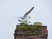 Larus mating Howth.JPG