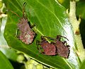 Late instar nymphs and adult Dock Bug, Coreus marginatus - Flickr - gailhampshire.jpg