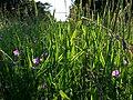 Lathyrus hirsutus sl85.jpg