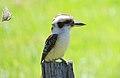 Laughing Kookaburra (Dacelo novaeguineae) (31230166862).jpg
