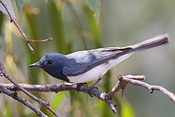 Leaden Flycatcher - male.jpg