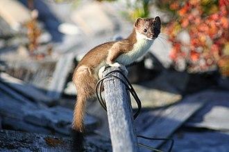 Least weasel - 200 px