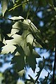 Leaves and Sky (4577009178).jpg