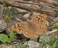 Lemon Pansy (Junonia lemonias) at Jayanti, Duars, West Bengal W Picture 339.jpg