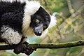 Lemur (26080833638).jpg