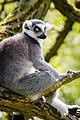 Lemur (39822751460).jpg