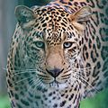 Leopard at Kufri Zoo is talking a walk after a nap.jpg