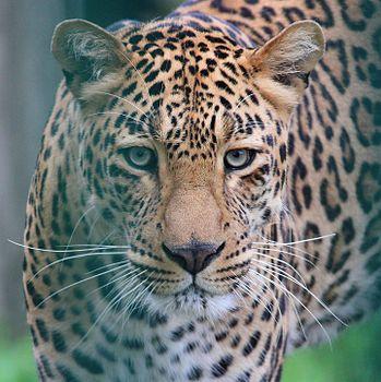 Leopard at Kufri Zoo is talking a walk after a nap.jpg