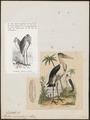 Leptoptilos crumeniferus - 1836 - Print - Iconographia Zoologica - Special Collections University of Amsterdam - UBA01 IZ17600059.tif
