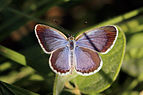Lesser grass blue (Zizina otis lampa) male I.jpg