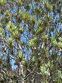 Leucadendron argenteum (8044399228).jpg