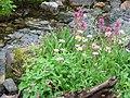 Lewis monkeyflower, cascade daisy, magenta paintbrush (872b67aa7dbe42dfa6e6ac10d5cfc461).JPG