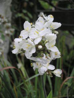 <i>Libertia grandiflora</i> species of plant