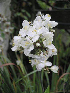 Description de l'image Libertia grandiflora.JPG.