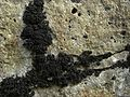 Lichinella nigritella - Flickr - pellaea.jpg