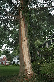 Lightning damage to tree in Maplewood, NJ