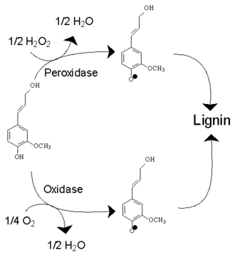 Lignin - Polymerisation of coniferyl alcohol to lignin. The reaction has two alternative routes catalysed by two different oxidative enzymes, peroxidases or oxidases.