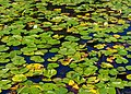 Lily Pond Humboldt Park Chicago 2020-2220.jpg