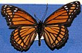 Limenitis archippus (viceroy butterfly) (Kentucky, USA) (17257469602).jpg