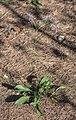Limonium vulgare narbonense, Vic-la-Gardiole04.jpg