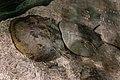 Limulus polyphemus in Tiergarten Schönbrunn 24 July 2020 JM.jpg