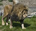 Lion (5379800785).jpg
