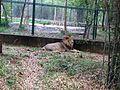 Lion @ bannerghatta.jpg