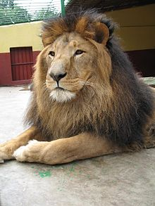 Lion zoo Addis Ababa 2.jpg