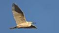 Little Egret, Egretta garzetta at Waterfall Estate, Gauteng, South Africa (35295450153).jpg