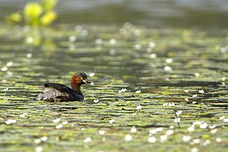 Little grebe - Image: Little Grebe Tachybaptus ruficollis East Kolkata Wetland West Bengal India 12.07.2012