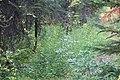 Little Yoho Valley IMG 4867.JPG
