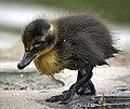 Little black duckling (26301628934) retusche.jpg