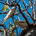 Little corella at Boulia Wildlife Haven Herbert St Boulia Queensland P1030426.jpg