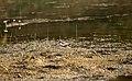 Little ringed plover -Charadrius dubius.jpg