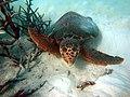 Loggerhead Sea Turtle-Caretta caretta (17298266875).jpg