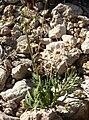 Lomatium nevadense var nevadense 8.jpg