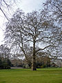 London Plane, Lincoln's Inn Fields, London WC1.jpeg
